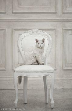 White cat white chair