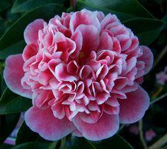 "Camellia japonica ""Volunteer"" - Just so beautiful!"