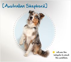 Despite their name, the Australian Shepherd was probably developed in the Pyrenees Mountains between Spain and France. Click through to read more about this beautiful breed in the Petplan pet insurance Condition Checker!
