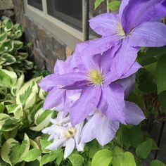 I lean toward soft cool colors in the garden. Love this clematis underplanted with hostas!  #garden #gardens #gardening #beautiful #lovely #flower #flowers #flowerpower #flowermagic #flowerstalking #pretty #bloom #blooms #instablooms #instagood #outdoors #outside #nature #natural #nofilter #love #cool #colors #lavender #clematis #petals #leaves #photo #photooftheday #summer