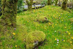 A carpet of moss and crocuses. #gardens #japanesegardens #moss #crocuses #spring #butchartgardens #日本庭園