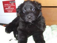 black german shepherd puppies pics