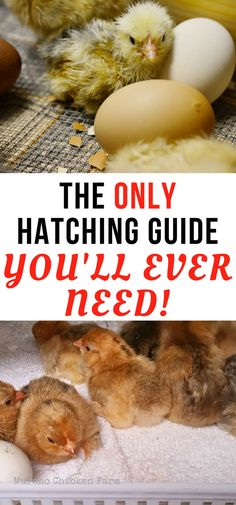 How to incubate chicken eggs and hatch chicks. Step by step guide to using your incubator properly to get amazing hatch rates.
