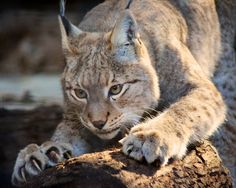 """""""My, what sharp claws you have!"""" - photo by Penny Hyde, via Flickr;  Siberian Lynx at San Diego, CA Zoo"""