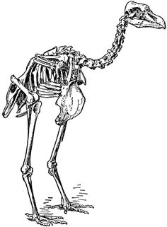 Pezophaps Solitarius (Skeleton)