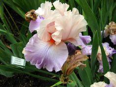 Venita Faye, Tall bearded Iris by Keppel, an award-winning hybridizer of TB Iris
