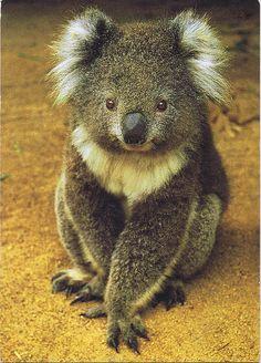 Koala by Sami Mon