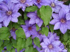 Galleri modern: clematis kan redde et hvert kedelige hjørne i haven.