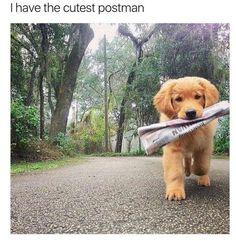 Golden Retriever puppy retrieving the newspaper