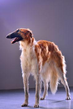 A portrait of borzoi. #borzoi #Russian #dogs