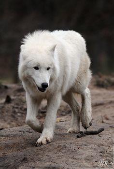 The white wolf aka my spirit guide