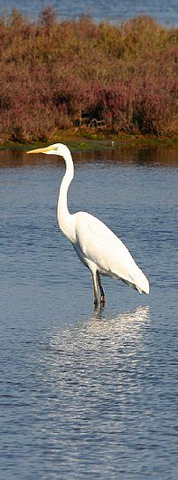 Love the bird varieties here . . . Great Egret #Capoterra #Sardegna