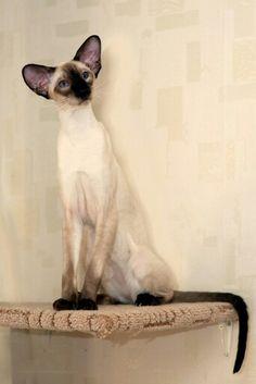Amikoshi cat