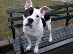 BETSY is an adoptable Pit Bull Terrier Dog in New York, NY. A volunteer writes: This adorable little black and white girl sits quietly in her kennel needing a little coaxing to come out and play. She ...