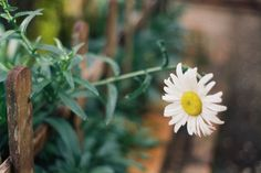 Daisy | Flickr - Photo Sharing!