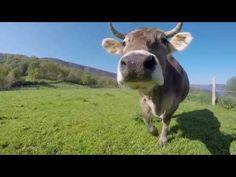 Turismo Rural, disfruta de Asturias   videos desde otro punto de vista Asturias Spain, Drones, Cow, Animals, Documentaries, Printmaking, Scenery, Pictures, Animales