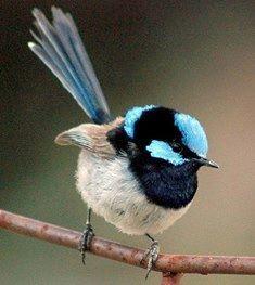 A CARRIÇA DE FADAS SOBERBA (Malurus cyaneus), também conhecido como a Carriça azul Soberba ou coloquialmente como a carriça Azul, é um pássaro passerine da família Maluridae, comum e familiar através de Austrália ao sudeste.