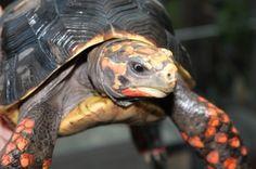 Redfoot Tortoise info