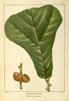 """Black jack oak, Quercus marilandica, is in the red oak group. Small tree growing to 50' tall, with bark cracked into rectangular black plates with narrow orange fissures. Leaves are 2.75–7.75"""" long & broad, typically a broad three-lobed bell shape with only shallow indentations; often remain attached through winter. Acorn is small, 0.5–0.75"""" long & 0.4–0.7"""" broad; like other red oaks, it takes 18 months to mature. Found on many chert glades along with Q.stellata in Arkansas' Ozark plateau."""