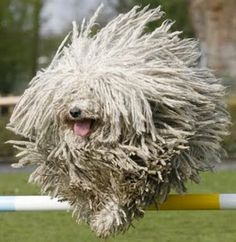 The Komondor is a large, white-colored Hungarian breed of livestock guardian dog with a long, corded coat