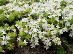 Kryptimian (Thymus serpyllum)