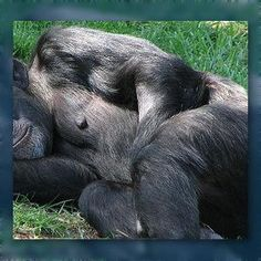 #Chimpanzees Sleep in Trees to Escape the Humidity