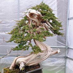 The many faces of Chinese juniper bonsai. Under construction, but full of potential.That upper part of the trunk is making me dizzy. stunning trunk, but the pot is just wrong. Bonsai Art, Bonsai Plants, Bonsai Garden, Bougainvillea Bonsai, Air Plants, Cactus Plants, Succulent Wall, Succulent Terrarium, Juniper Bonsai
