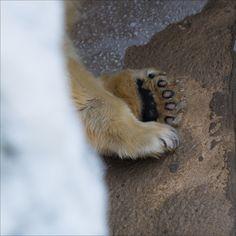 https://flic.kr/p/w6qDzX | Sadness...Variation1 | www.fotografik33.com Un ours polaire triste (Zoo de la palmyre) A sad Polar Bear (La Palmyre Zoo - FRANCE)
