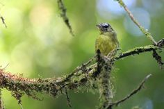Foto barbudinho (Phylloscartes eximius) por Evair Legal | Wiki Aves - A Enciclopédia das Aves do Brasil