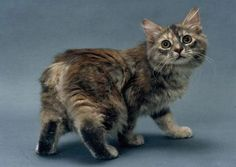 Isle of Man - the famous manx cats have no tails!