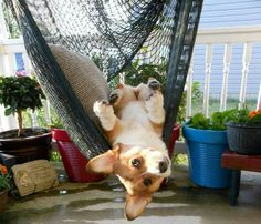 """""""Just can't get the hang of this!"""" #dogs #pets #Corgis Facebook.com/sodoggonefunny"""
