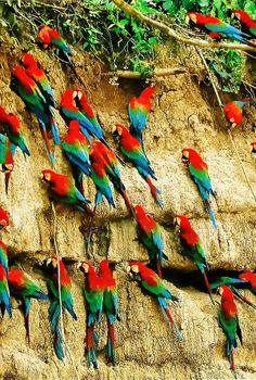 A flock of macaws in the Peruvian Rain Forest