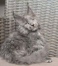 Timaracoon's Cara Lin ❤️ 10 weeks (blue smoke girl ) SOLD Parents:RU*Sharm World Nostalgie & Timaracoon's I'm Black Sparrow Cute Cats And Kittens, Kitty Cats, Large Domestic Cat Breeds, Maine Coon Kittens, Norwegian Forest Cat, Pet Stuff, Animals And Pets, Cool Art, Parents