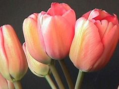 Perfect Lover Tulips for the garden. As perennials, tulips are so enjoyable because they require very low maintenance and, after daffodils, are one of the first to spring with warm weather!