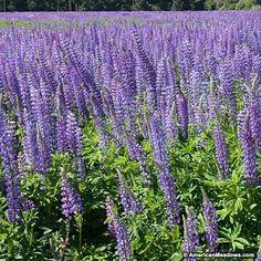 Blue Perennial Lupine Seeds, Lupinus perennis