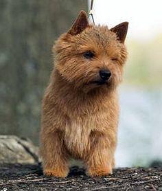 Norwich Terrier. Love!