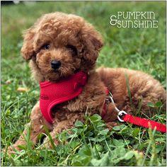 Pumpkin is 9 weeks old  #puppy #dog #toypoodle #poodle
