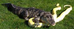 Nessie the Alligator and Banana the Albino Burmese Python