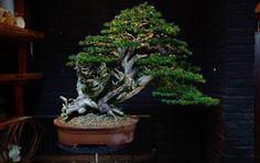 A stunning Yew by Teunis Jan Klein. #bonsai