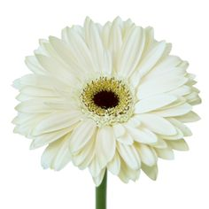 Off White Gerbera Daisy flowers have soft, subdued ivory petals. Create an electric floral display by combining this Gerber daisy with Latin Breeze hot pink ros Gerbera Bouquet, Freesia Flowers, Gerbera Flower, Daisy Flowers, White Flowers, Hot Pink Roses, Blush Roses, Wholesale Flowers Online, Modern Wedding Flowers