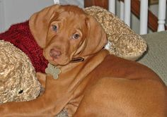 Gus the Vizsla Pictures 9219