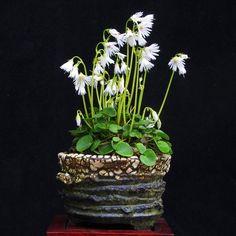 Bonsai Accent Plant 127