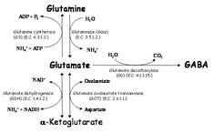 Výsledek obrázku pro metabolism of glutamate