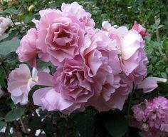 organic garden dreams september roses roses pinterest. Black Bedroom Furniture Sets. Home Design Ideas