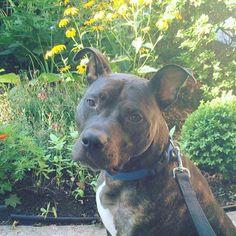 Conheça a história de Puffy, um cãozinho que ganhou fama depois de ter sido abandonado em um abrigo. Quem decide adotar um cão assume o compromisso de cuidá-lo para sempre. Infelizmente não é isso …