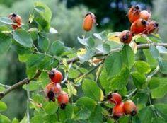 Άγριο τριαντάφυλλο. Ένα βότανο που προλαμβάνει κι ενισχύει. - My Beautiful Body   mybeautifulbody.gr   Συμπληρώματα Διατροφής, Προϊόντα Φυσικής Διατροφής, Τόνωση, Αδυνάτισμα Back To Nature, Arthritis, Feel Better, Herbs, Fruit, Health, Plants, Beautiful, Roses