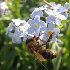 Čebela nabira hrano-The bee is looking for food
