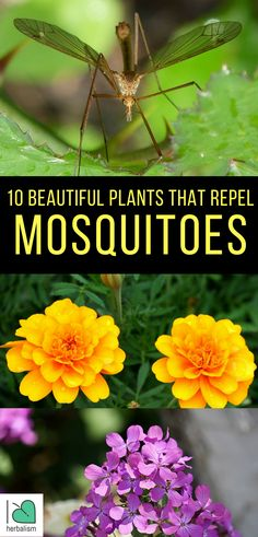 10 Beautiful Plants That Repel Mosquitoes