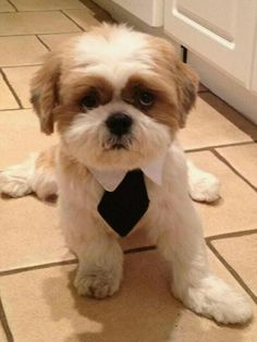 I want to cut my dogs hair like this #shihtzu