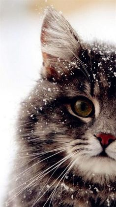 What a real snowy sweetheart xxxxxooooo Love Love Love - your daily dose of funny cats - cute kittens - pet memes - pets in clothes - kitty breeds - sweet animal pictures - perfect photos for cat moms Beautiful Cat Breeds, Beautiful Cats, Animals Beautiful, I Love Cats, Crazy Cats, Cute Cats, Animals And Pets, Baby Animals, Cute Animals
